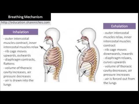 Diagram | Breathing Mechanism  Inhalation, Exhalation