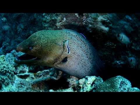 Giant Muray Eel