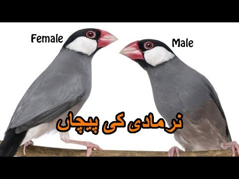 How to Find Male and Female Java birds | Nar Madi ki Pehchan