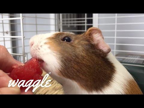 Guinea Pigs, Hamsters, & Chinchillas | Smol Cute Pet Compilation