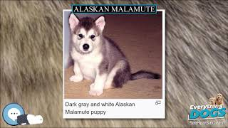 Alaskan Malamute  Everything Dog Breeds