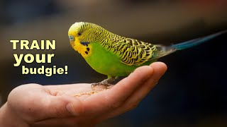 train your budgie to be more friendly
