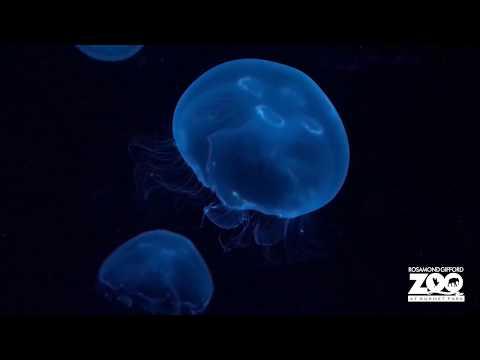 Moon Jellyfish Moment Of Zen