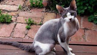 Девон Рекс, Уход и содержание, Породы кошек