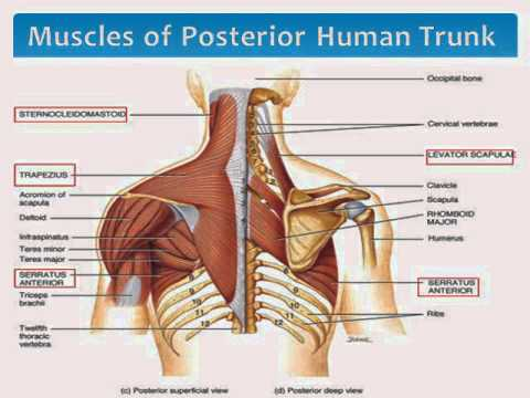 muscles of the upper body torso - youtube, Muscles
