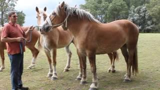 №4 фламандская порода на продажу(Наш официальный сайт : http://vindzor-horse.com/ Наша группа Вконтакте : https://vk.com/horse.holland ФЛАМАНДСКАЯ ПОРОДА ЛОШАДЕЙ...., 2015-03-12T15:15:19.000Z)