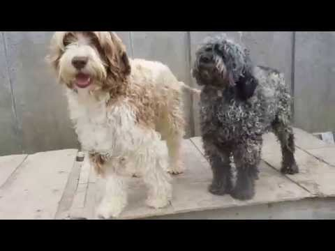 SHARMINK'S PORTUGUESE WATER DOGS