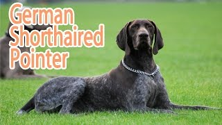 German Short Haired Pointer Breed