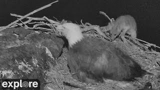 Fox Attacks Bald Eagle Nest