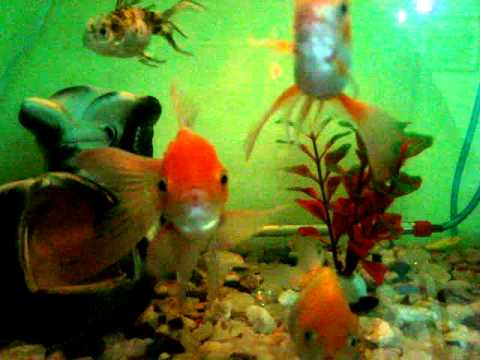 Mis peces goldfish bonitos youtube for Peces goldfish tipos