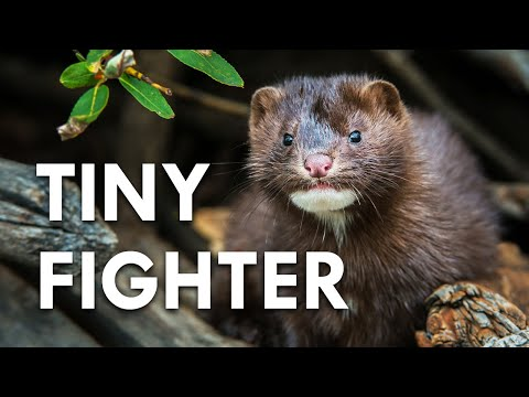 Are Minks Really Serial Killers?