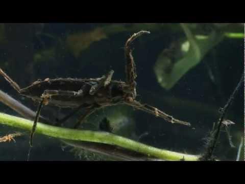 Predatory Water Scorpion