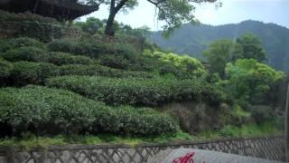 Hangzhou tea farm