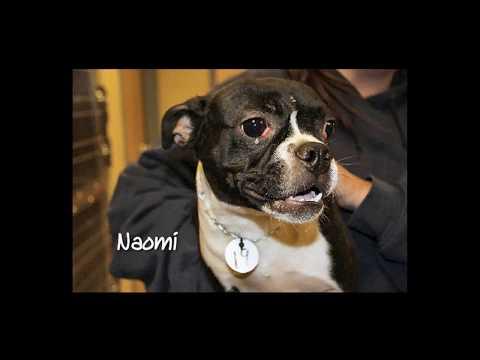 Nebraska Boston Terrier Rescue