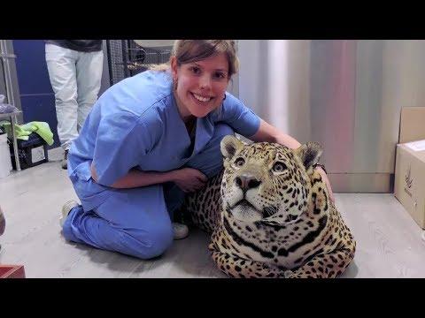 Беременная самка ягуара решила избавиться от своих детёнышей и вот что произошло…