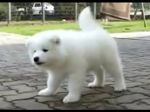Cute Samoyed Puppy, Sweet Polar Bear Cub