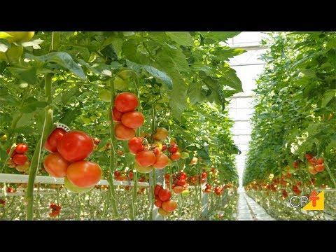 Clique e veja o vídeo Curso Hidroponia - Cultivo de tomate CPT