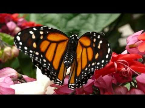 Die Metamorphose des Monarch - Schmetterlings