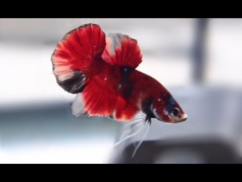 Koi betta fish youtube for Why do betta fish fight
