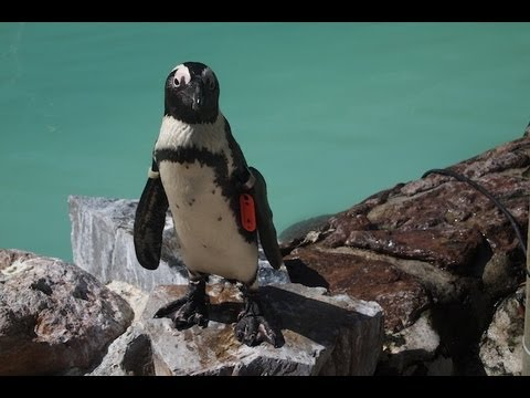 African Penguin conservation in Cape Town