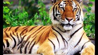 Тигры-людоеды Документальный фильм.Tiger maneater