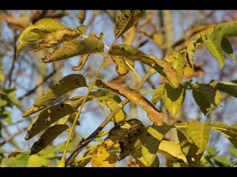 Листья грецкого ореха как удобрение - можно ли использовать?