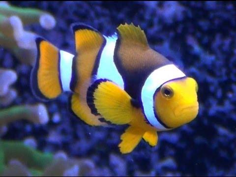 True Percula Clownfish - HD