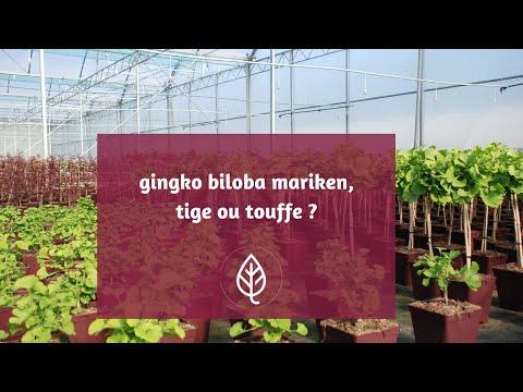 Avis Ginkgo Biloba - concentration : comment augmenter sa capacité de travail ?