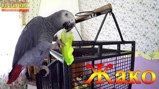Говорящий попугай Жако, серый африканский попугай Сильвер 8 серия
