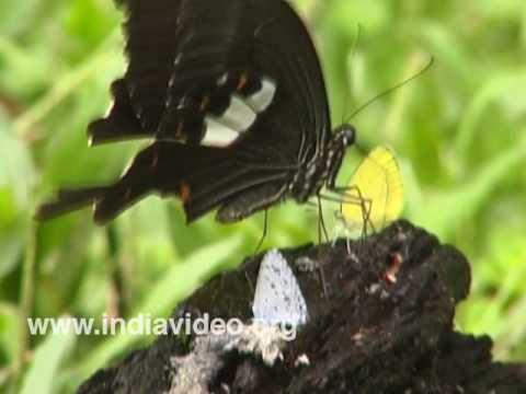Red Helen or Papilio helenus