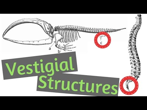 Vestigial Structures | Evidence for Evolution