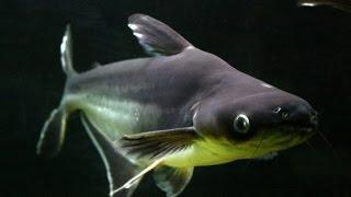 Аквариумные рыбки:Пангасиус