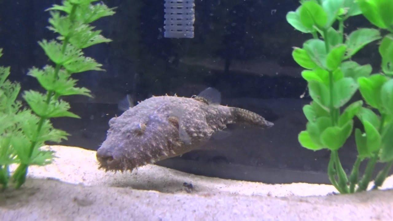 Hairy puffer fish