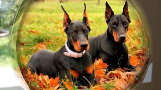 Доберман (Dobermann) - порода собак