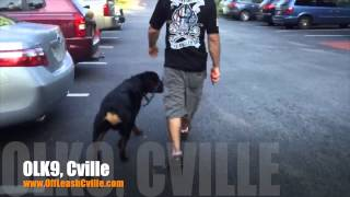 Heeling With A Few Distractions! | Rottweiler | Harrisonburg Dog Training