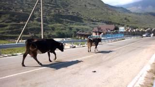 Как мычат коровы