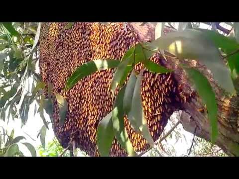 Tổ ong mật khổng lồ