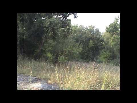 Tiger Roaring with Langur Alarm Calls