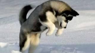 HUSKY DOG/WOLF