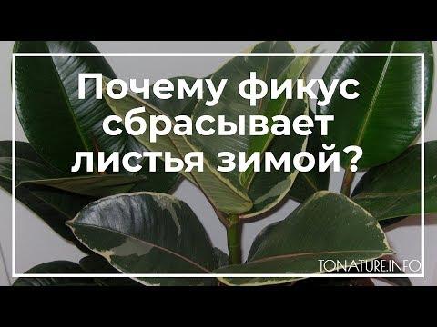 Почему фикус сбрасывает листья зимой? | toNature.Info