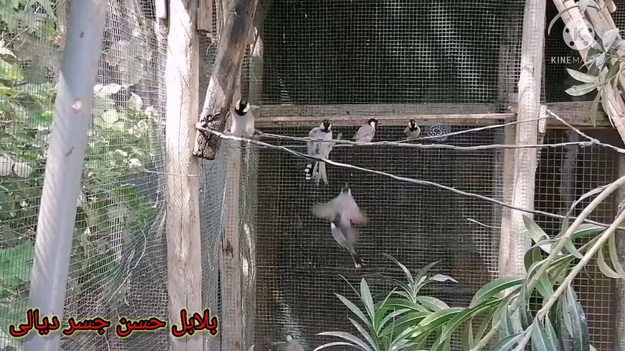 ألفه البلابل مع بعض (فيديو مهم )