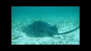 Raie pastenague - Les Baleines Rand'eau - Nosy Be - Madagascar