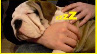 I LOVE PUPPIES ◄ Bulldog Puppy SUPER CUTE◄ Bully Baby Sleeping in my Arm
