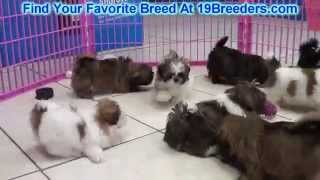 Shih Tzu Puppies For Sale 19breeders
