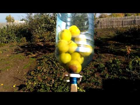 Как правильно собирать яблоки с яблони