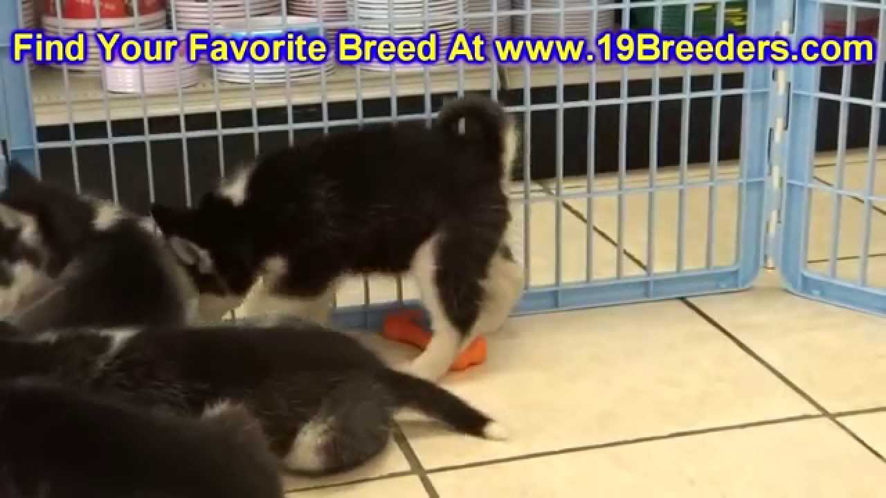 Image Result For Siberian Husky Puppies For Sale In Des Moines Iowa