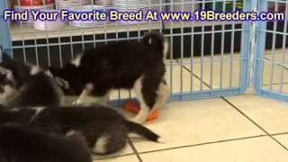 Siberian Husky, Puppies, For, Sale, In, Cedar Rapids, Iowa, Ia, West Des Moines, Ames, Council Bluff