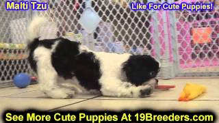 Malti Tzu, Puppies, For, Sale, In, Billings, Montana, MT, Missoula, Great  Falls, Bozeman