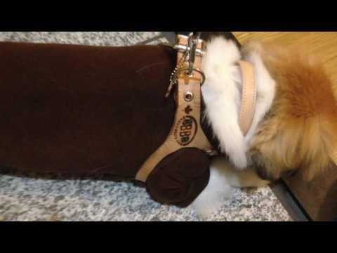 犬のハーネス バディーベルト︎︎︎*Buddy Belt*【ペキニーズ小太郎】