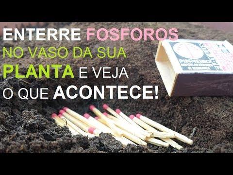 ADUBAÇÃO COM PALITOS DE FOSFORO - NÃO É FAKE AJUDE SUA PLANTA COM MAGNESIO - Cantinho de casa